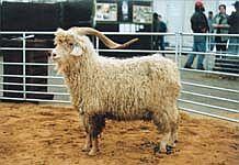 koza mohérová