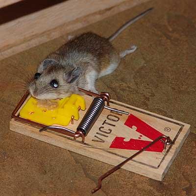 pasti na myši, sklopce na kuny