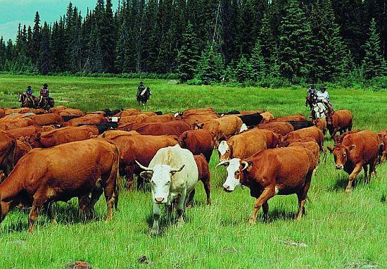 poháněče dobytka