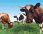 Elektrické ohradníky pro hovězí dobytek - skot - krávy, voly a býky