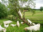 elektrické ohradníky pro kozy a kůzlata