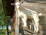 chovatelské potřeby pro kozy