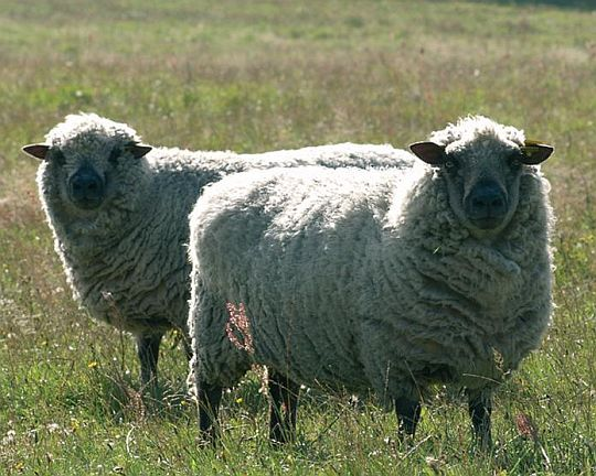 elektrické ohradníky pro ovce