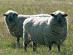 chovatelské potřeby pro ovce