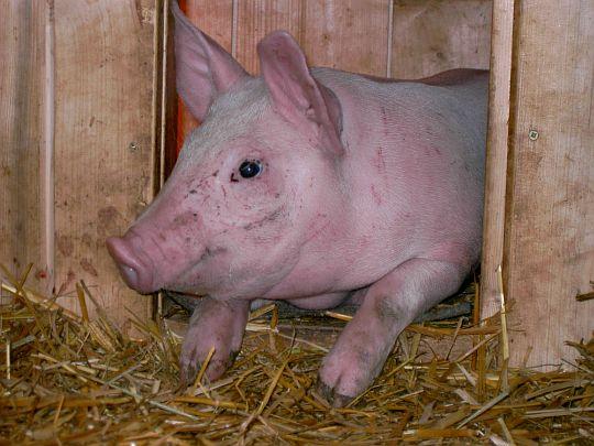 elektrické ohradníky pro prasata