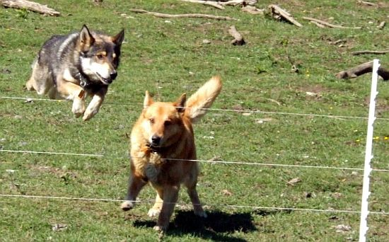psi přeskakují elektrický ohradník