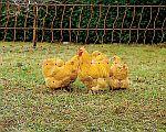 chovatelské potřeby pro drůbež - slepice, husy, kachny, krůty, pštrosy, holuby