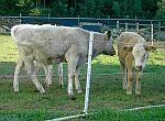 Elektrické ohradníky pro telata a mladý hovězí dobytek
