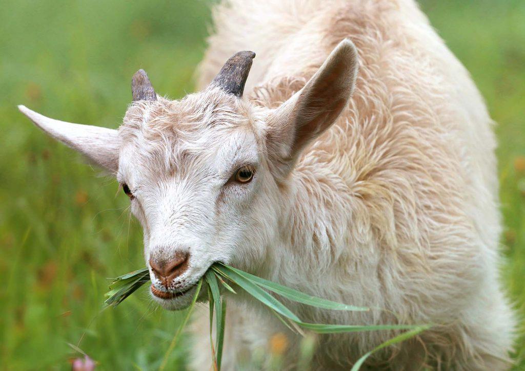 Elektrický ohradník pro kozy